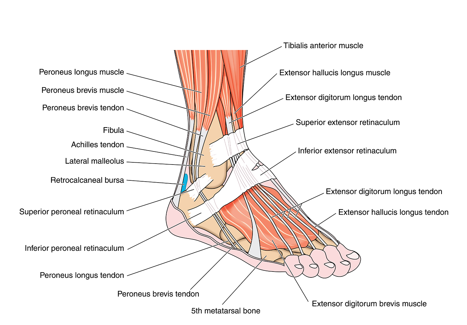 Foot & Ankle - Elmhurst Orthopaedics